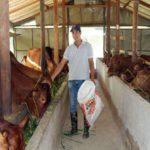 Đang làm phiên dịch lương 20 triệu một tháng, về quê nuôi bò lãi trăm triệu