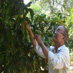 Thu tiền tỷ từ trồng sầu riêng xen măng cụt