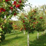 Câu chuyện mua táo và bài học kinh doanh