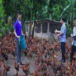 Nông dân người Dao làm giàu từ mô hình nuôi gà