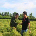 Tạm gác bằng đại học về quê trồng đinh lăng