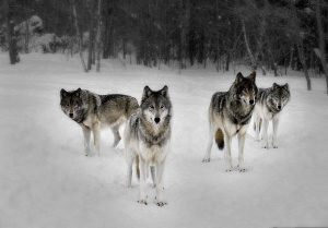 Tư duy sói đầu đàn