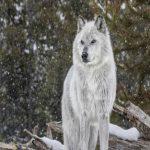 Tư duy sói đầu đàn: Không chỉ độc ác với người khác, mà phải độc ác với chính mình
